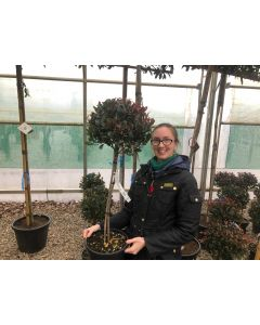 Photinia Angustifolia Compacta Mini Standard 5 Litre Pot