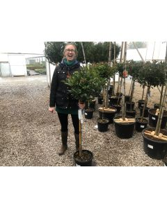 Photinia Red Robin Half Standard 12 Litre Pot