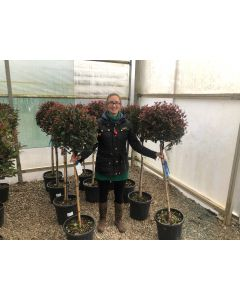Photinia Little Red Robin Half Standard 35 Litre Pot