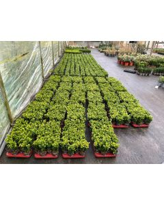 Box Hedging 9cm Pot 8-10cm 24 plants in a tray