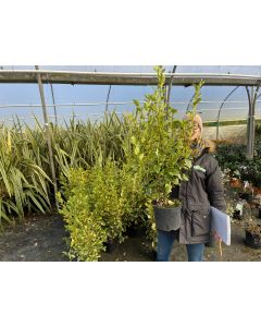 Griselinia Littoralis Bantry Bay Hedging 5 Litre