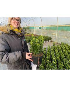 Euonymus Jap. Green Spire 2 Litre Pot 25 cm Bushy