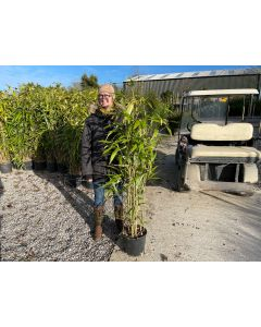 Pseudosasa Japonica Bamboo 9 Litre Pot 130/150