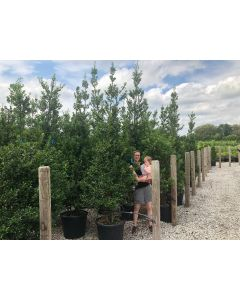 Holly Ilex Aquifolium Alaska 250/300cm 70 Litre Pot