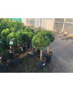 Pinus Nigra Brepo 18 Litre Pot 1/4 Standard