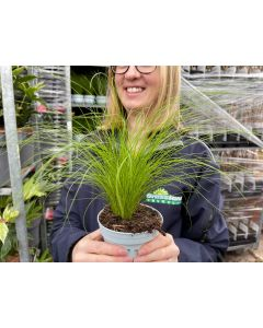 Stipa Pony Tails 10.5cm Pot