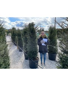 Yew Hedging Potted Root Ball 180/190cm