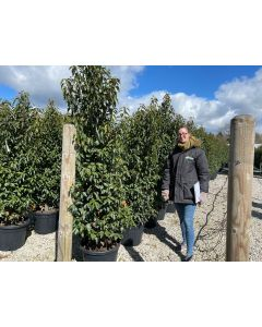 Portuguese Laurel Root Ball 180/200cm