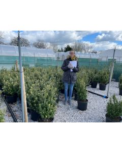 Box Holly Ilex Crenata Caroline Root Ball 40/50cm Digging Now