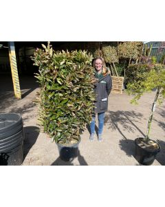 Photinia Crunchy Living Hedge Panel 30 Litre Pot 120x70cm