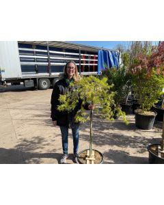 Acer palmatum Dissectum Viridis Half Standard 25 Litre Pot