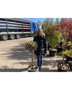 Ilex aquifolium Argentea Marginata Half Standard 20 Litre Pot