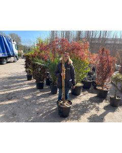 Acer palmatum Inaba Shidare Half Standard 120cm Stem 35 Litre Pot