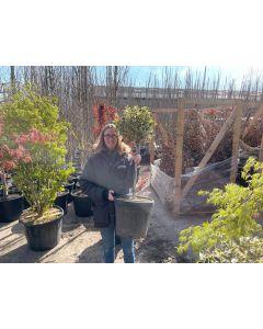 Ilex aquifolium Argentea Marginata 1/4 Standard 20 Litre Pot