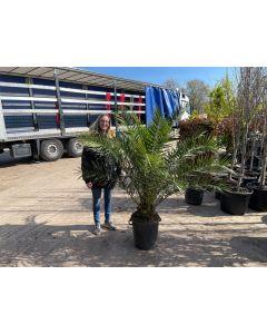Phoenix Canariensis 30 Litre Pot 150cm