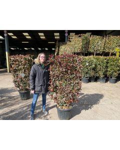 Photinia Corallina Living Hedge Panel 30 Litre Pot 120x70cm