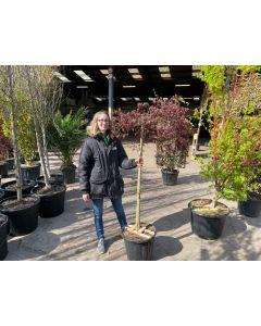 Acer palmatum Inaba Shidare Half Standard 35 Litre Pot