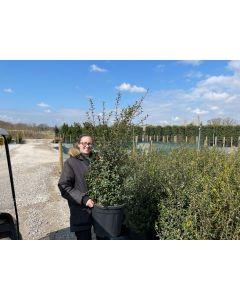 Osmanthus Burkwoodii 100-120 Root Ball Bush