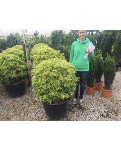 Osmanthus Heterophyllus Tricolour Bush-Ball 80 Litre Pot