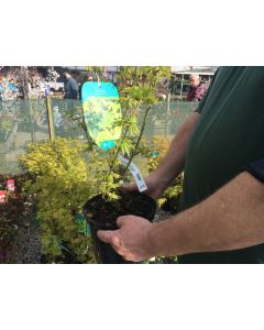 Acer Palmatum Berry Broom 5 Litre Pot