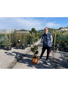 Cupressus Leylandii Pom Pom 20 Litre Pot 150cm