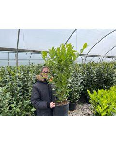 Laurel Hedging 10 Litre Pot 80-100cm New Seasons