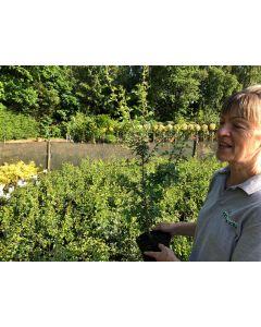 Hawthorn Hedging 80/90cm 3 Litre Pot Grown