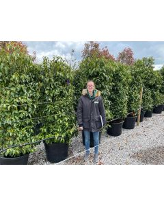 Prunus Lusitanica 90 Litre Pot 180/190cm Extra Wide Pre Order For End of June