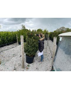 Prunus Lusitanica 70 Litre Pot 130/140cm Extra Wide Pre Order For End of June