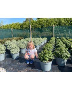Pittosporum Tenuifolium Pom Pom 10 Litre Pot