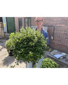 Pittosporum Tenuifolium Pom Pom 15 Litre Pot