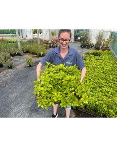 Pachysandra Green Sheen 24 Tray Mega Pack