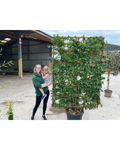 Carpinus Betulus Wall Frame 200x130cm 65 Litre Pot