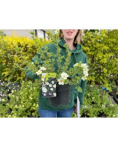 Potentilla fruticosa McKay's White 2 Litre Pot