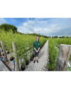 Phyllostachys Bissettii Bamboo 5 Litre Pot 100/125cm