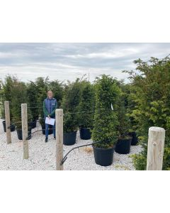 Yew Hedging Root Ball 160/180cm 70 Litre
