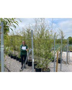 Black Bamboo 30 Litre Pot 200-250cm