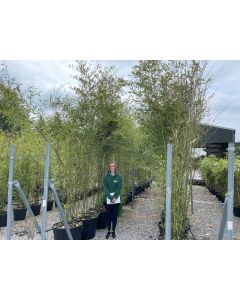 Bamboo Phyllostachys Bissettii 90 Litre Pot 3.5-4m