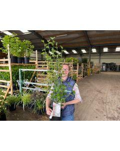 Hibiscus Syriacus White Chiffon 4.5 Litre Pot