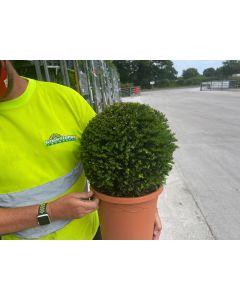 Yew Ball 10 Litre Pot 30-35cm