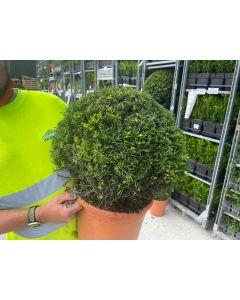 Yew ball 40cm+