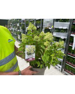 Hydrangea Paniculata Pandria 5 Litre Pot