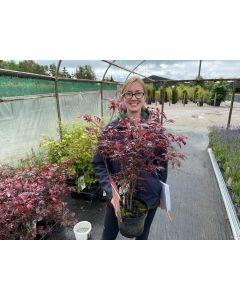 Acer palmatum Atropurpurea 3 Litre Pot