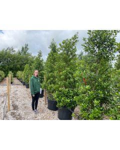 Ilex Aquifolium Limsi 230/240cm 110 Litre Pot Extra Heavy Bush 85 cm Wide