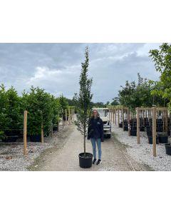 Carpinus Betulus Fastigiata 40 Litre Pot 8/10cm Girth 2.8/3m