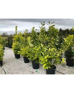 Cherry Laurel Hedging 30 Litre Pot Grown 170-180cm