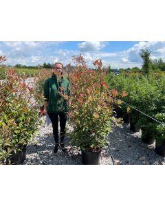 Photinia x fraseri Pink Marble 30 Litre Pot Specimen 130-150cm