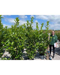 Laurel Hedging Cherry Laurel 20 Litre Pot 180-200cm Tall