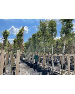 Quercus Ilex - Holm Oak Full Standard 14-16 cm Girth