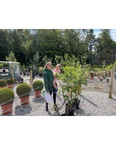 Apple Trio Tree, Elstar, Boskoop, Jonagold 7.5 Litre Pot
